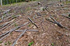 Bukowi drzewni fiszorki, notują i rozgałęziają się w clearcut terenie Obrazy Stock