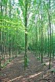bukowi młodych drzew Fotografia Stock