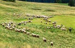 Bukowina Tatrzanska, Polonia - 21 agosto 2015: Moltitudine di pecore Fotografie Stock Libere da Diritti