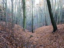 Bukowy drewno Zdjęcia Stock