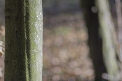 Bukowy drzewo Zdjęcie Stock