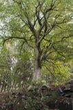 Bukowy drzewo na pogodnym jesień dniu zdjęcie royalty free