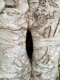 Bukowy drzewo na smołowcowej rzecznej skalistej górze Pólnocna Karolina Fotografia Royalty Free