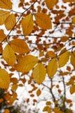 Bukowy drzewo z jesieni lub spadku liśćmi (fagus) Obrazy Royalty Free