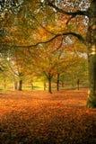 Bukowy las obrazy royalty free