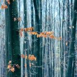 Bukowy las Obraz Stock