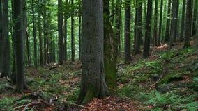 Bukowy las zdjęcie wideo
