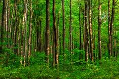 Bukowy las Fotografia Royalty Free