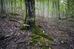 Bukowy las, lasowa zieleń 20 Obrazy Royalty Free