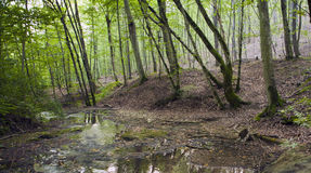 Bukowy las, lasowa zieleń 19 Zdjęcia Royalty Free