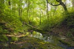 Bukowy las, lasowa zieleń 26 Obrazy Royalty Free