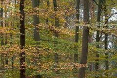 Bukowy las w jesieni Zdjęcia Royalty Free