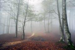 Bukowy las w jesieni z mgłą Obrazy Stock