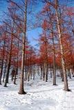 Bukowy las w zimie z śniegiem Zdjęcie Royalty Free