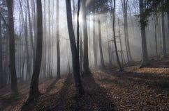Bukowy las z światło słoneczne promieniami Zdjęcie Royalty Free