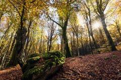 Bukowy las z drzewami w backlight W przedpolu kamień zakrywający z mech, suszy liście porośle Jesień kolory, obraz stock
