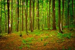 Bukowy lasowy pobliski Rzeszowski, Polska Obraz Royalty Free