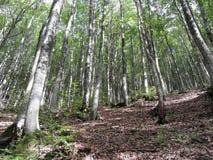 Bukowy lasu krajobraz w lecie włochy Toskanii Zdjęcia Royalty Free