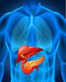 Bukspottkörtelcancer i människokropp stock illustrationer