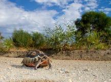 Bukszpryt, Angulate tortoise/ Zdjęcia Royalty Free