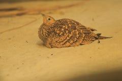 buktad kastanjebrun sandgrouse Royaltyfri Foto
