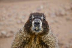 Buktad Marmot Royaltyfri Foto