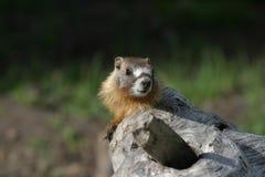 buktad marmotyellow Arkivfoto