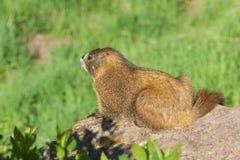 buktad marmotyellow Arkivfoton