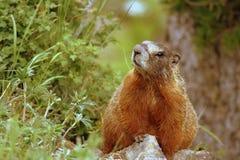 buktad marmotyellow fotografering för bildbyråer