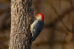 buktad röd treehackspett Fotografering för Bildbyråer