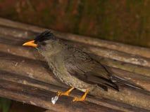 Bul-bul tropical do pássaro Imagens de Stock
