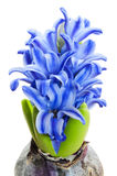 Bulb blooming with blue flowers Stock Photo