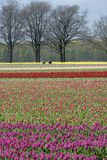 Bulb Field with colorful tulips and bulbs pickers Stock Photo