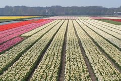 Bulb fields in Holland. Mixed colorued  tulip bulb fields in Holland Royalty Free Stock Photography