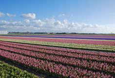Bulb-fields Hyacinths Holland Stock Image