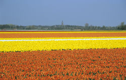 Bulb Fields - Netherlands. The tulip bulb industry in the Netherlands is the largest in the world. Orange, yellow and white tulips fill vast fields in Lisse royalty free stock photography