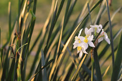 Bulb flower Stock Photography
