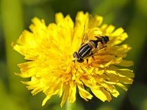 Bulb fly Helophilus pendulus Royalty Free Stock Photography