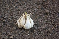 Bulb of garlic (Allium sativum) stock photo