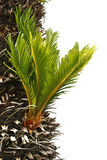 Bulb growing near the trunk of a cycas revoluta Stock Photo