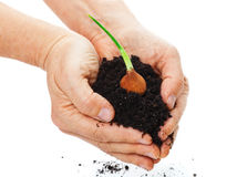 Bulb, hands, potting soil. Hands with bulb and potting soil Royalty Free Stock Images