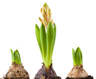 Bulb of hyacinth Stock Images