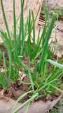 Bulb onion green onions organic plant stock photos