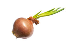 Bulb onion Stock Photography