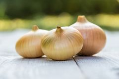 Bulb onion ripe stock photos