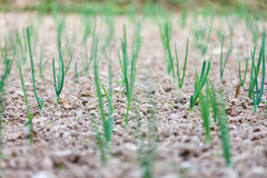 Bulb plant agriculture at plough Royalty Free Stock Photo