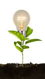 Bulb plant growing from soil Royalty Free Stock Photography