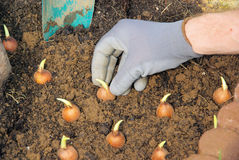 Bulb planting Royalty Free Stock Image