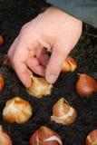 Bulb planting Stock Image
