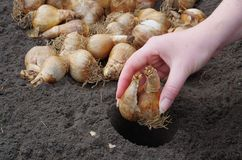 Bulb planting Royalty Free Stock Photography